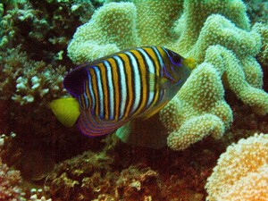 Beautiful Regal Anglefish were seen on almost every dive
