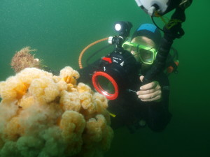 Diver photographing Plumose Anemones on the Rosalie at Weybourne