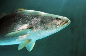 totoaba
