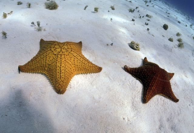 tam 2015-cushion seastars (3)