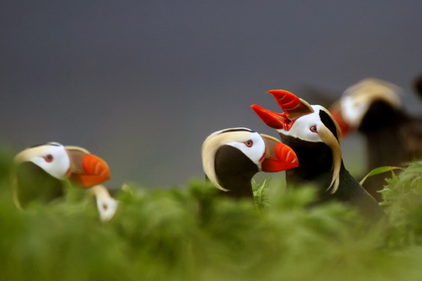 Tufted puffins in the Alaska Maritime National Wildlife Refuge. The species is commonly caught in driftnet salmon fishing gear in the waters off Russia's far eastern shore. Photo credit: Steve Ebbert, USFWS.