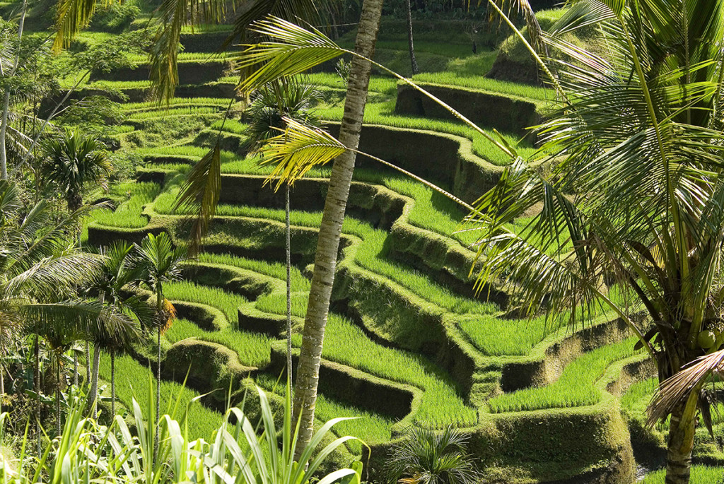 Serene beauty and abstract geometries in central Bali's paddy fields