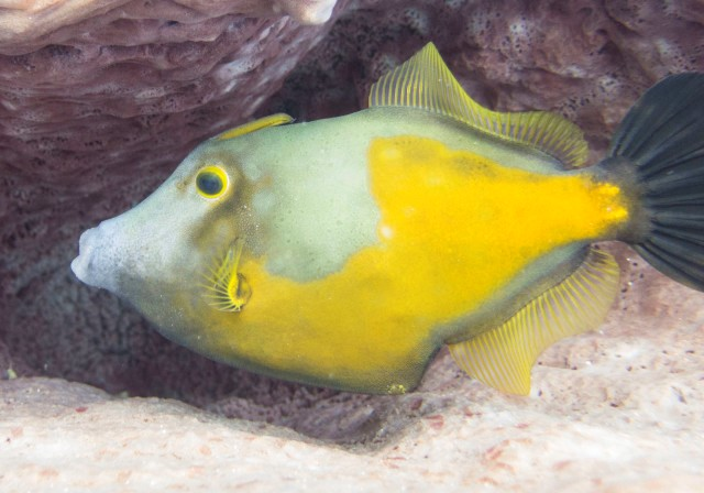 Gorgeous WhiteSpotted Filefish