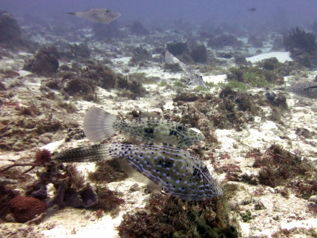 Look carefully….how many Filefish can you count??