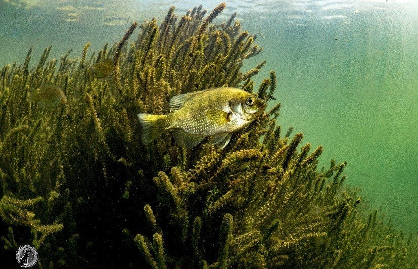 A curious bluegill in the Middle Fork Willamette River, Oregon.