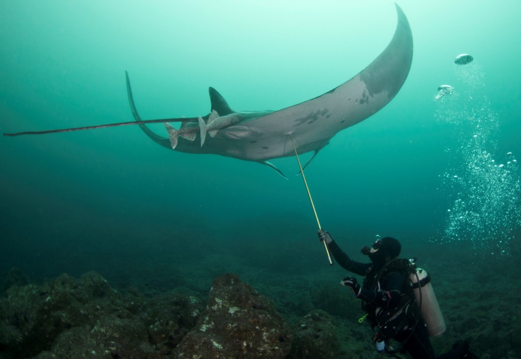 katherine-burgess-taking-a-tissue-sample-of-a-giant-manta-ray-in-ecuador-copyright-andrea-marshall