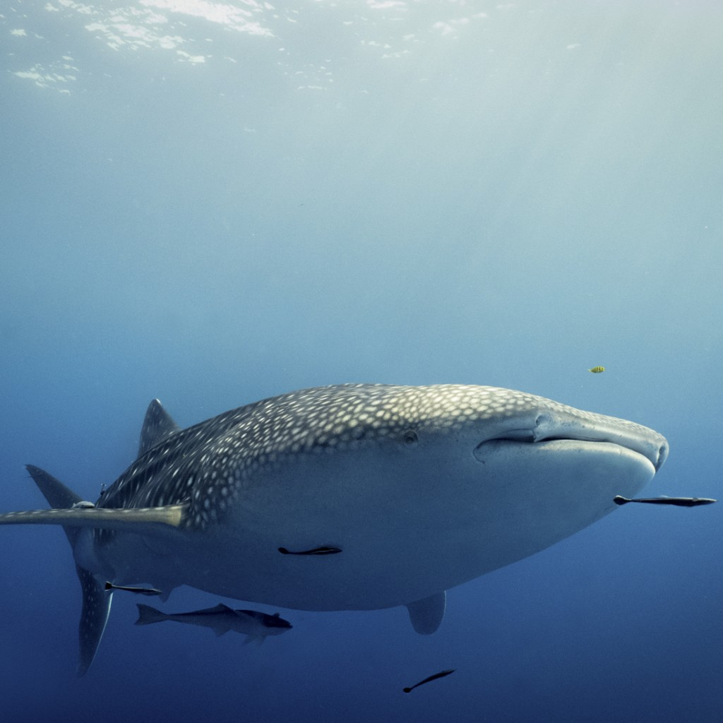 whale shark in the depths
