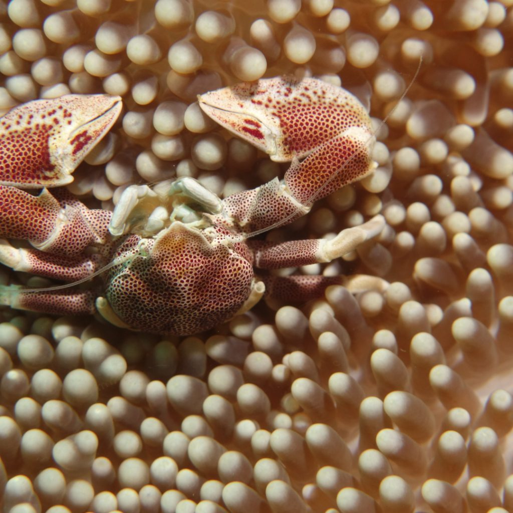 another bali crab