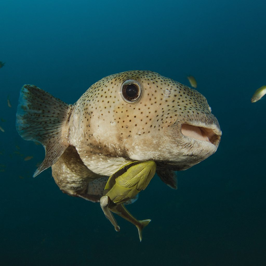 puffer fish with remora