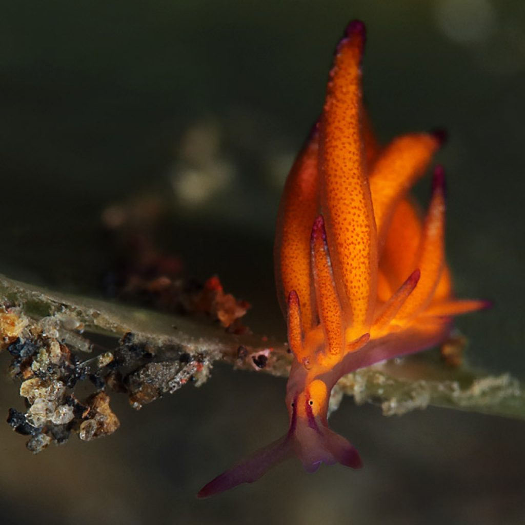 nudibranch hermaea sp 3 nssi2