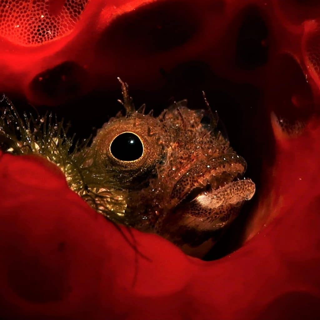 blenny in sponge