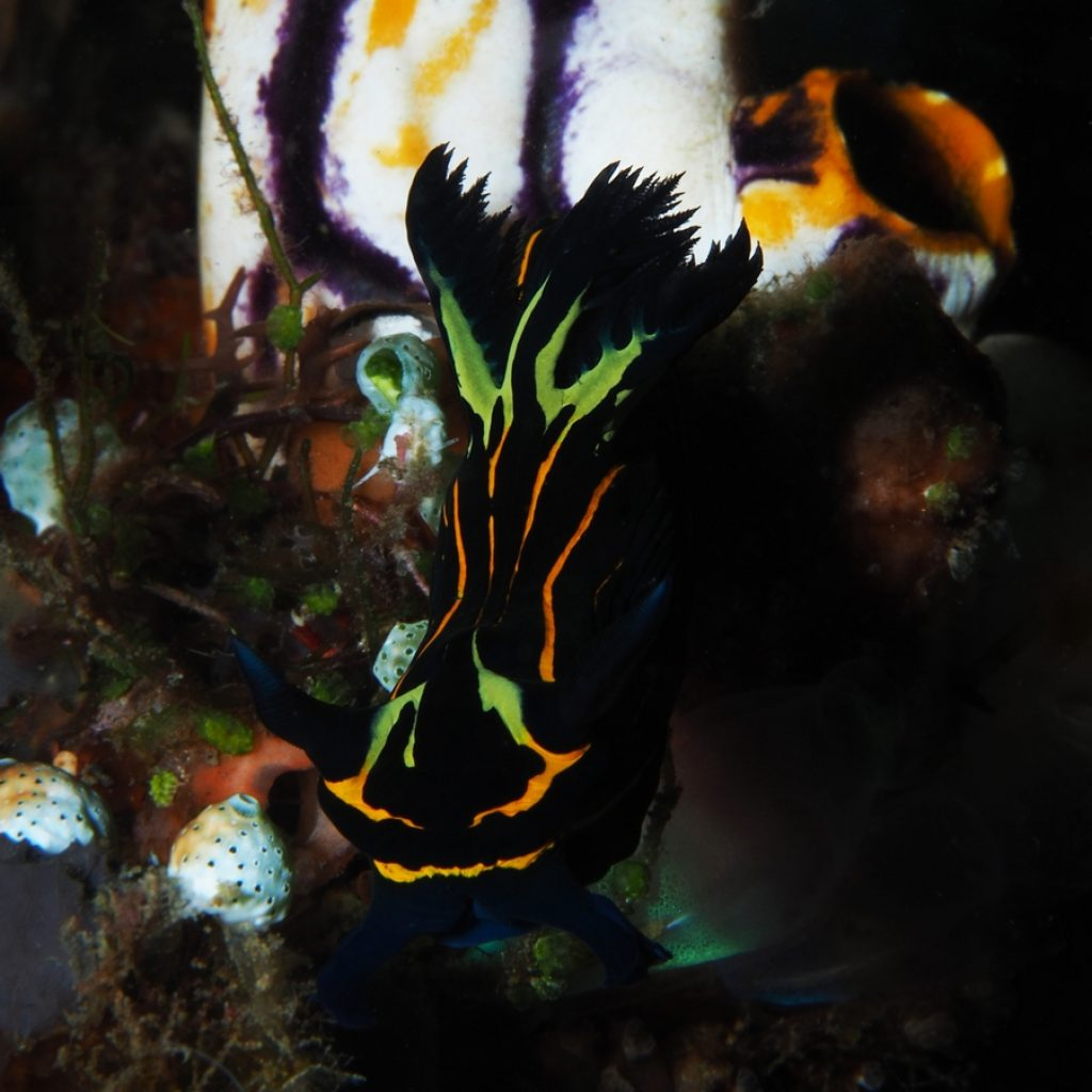 nudibranch tyrannodoris luteolineata