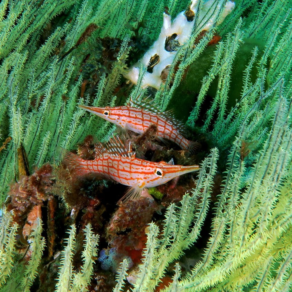 longnose hawkfish in black coral on two mile reef sodwana south africa