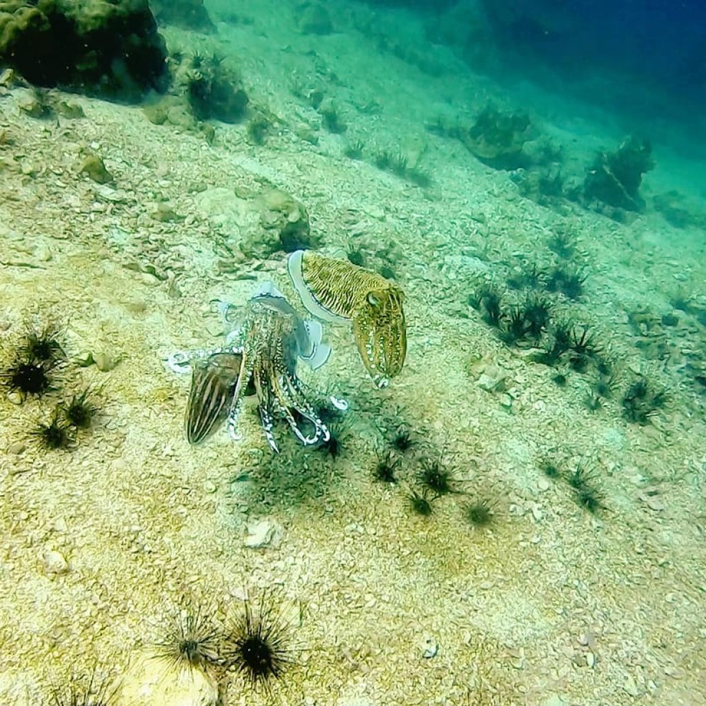 a couple of cuttlefish mating