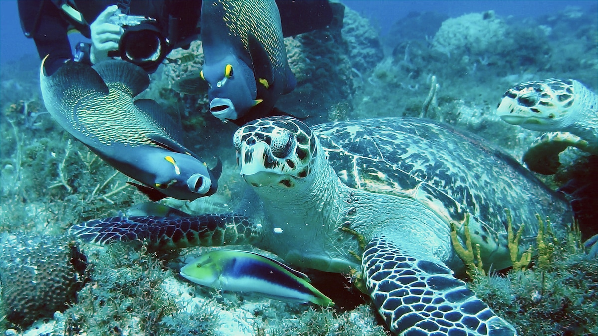 French Anglefish and Hawksbill Turtle2