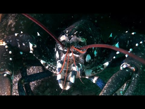 Scuba Diving and Marine Life: Common or European Lobster (Watch Video)