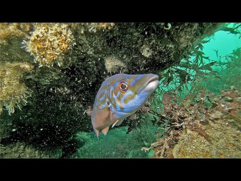 Scuba Diving and Marine Life: Cuckoo Wrasse (Watch Video)