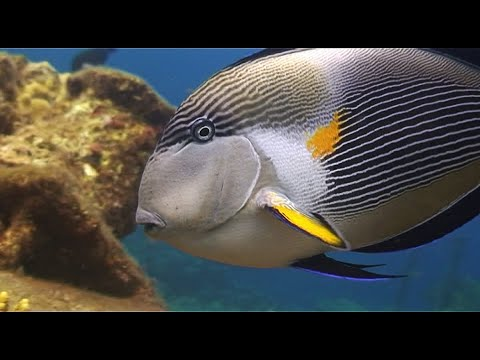 Scuba Diving and Marine Life: Sohal Surgeonfish, Red Sea (Watch Video)