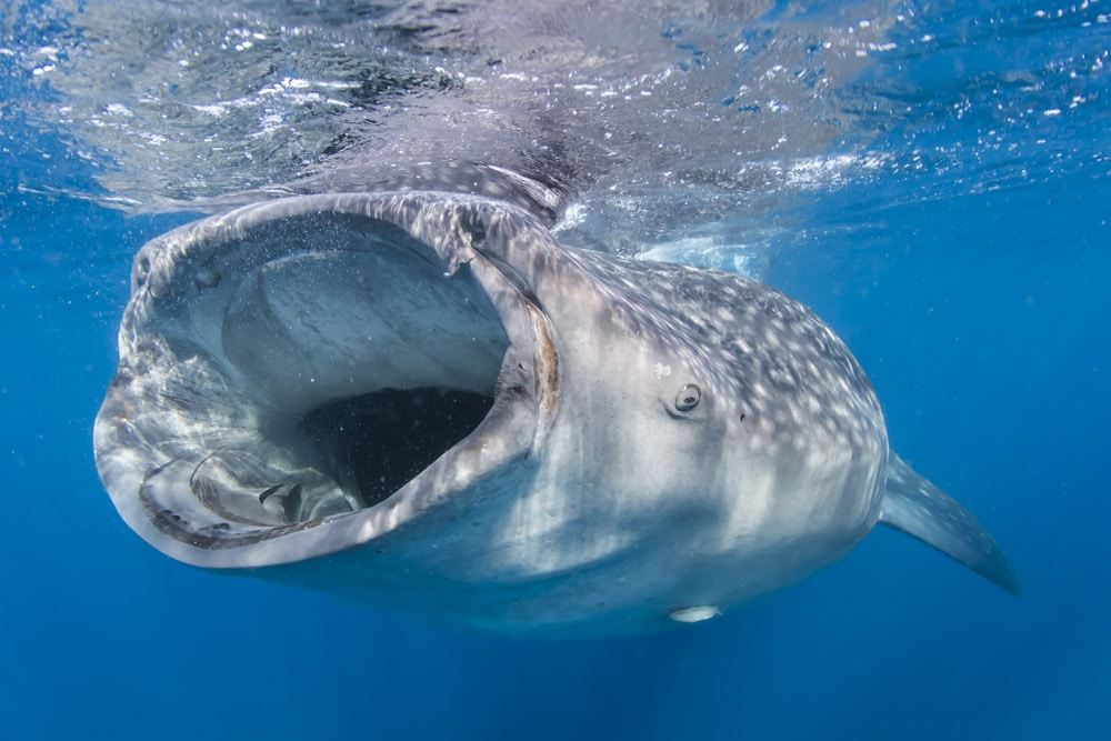 Oslob Whale Shark by Marty Snyderman