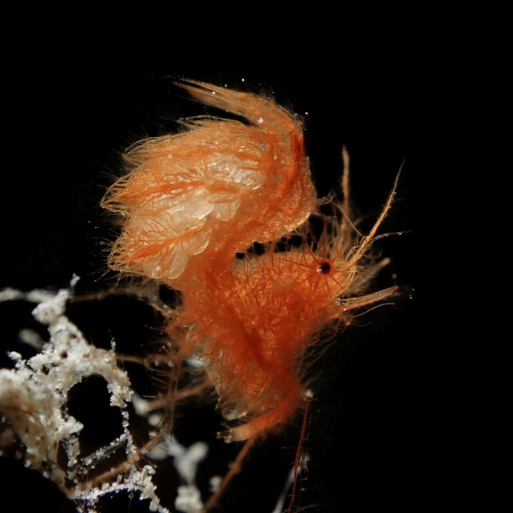 hairy shrimp