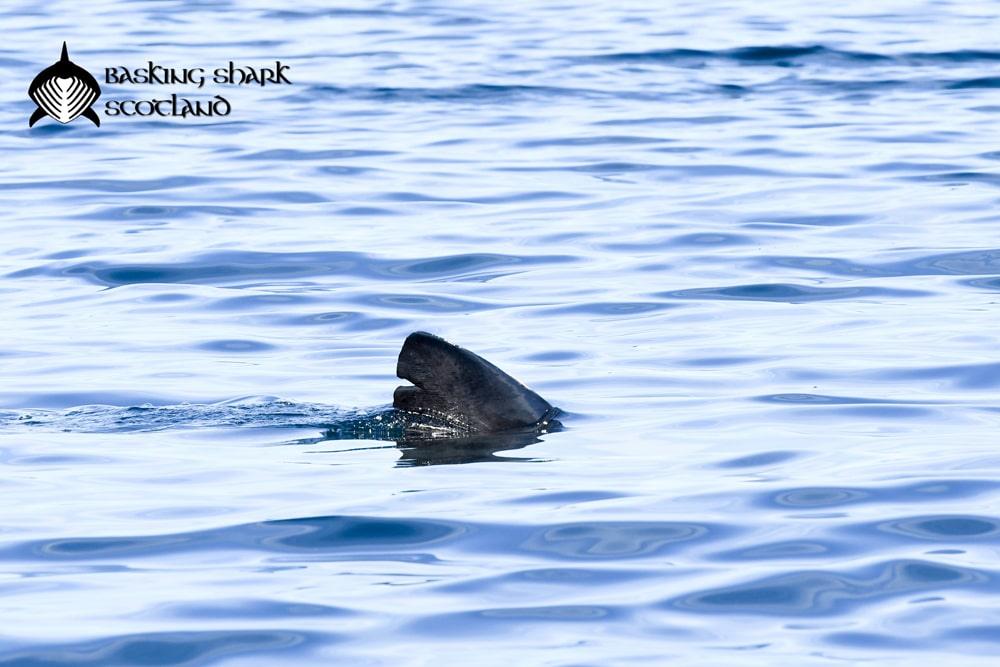 Shark Tag – Male – Right Dorsal_Shane WasikBSS