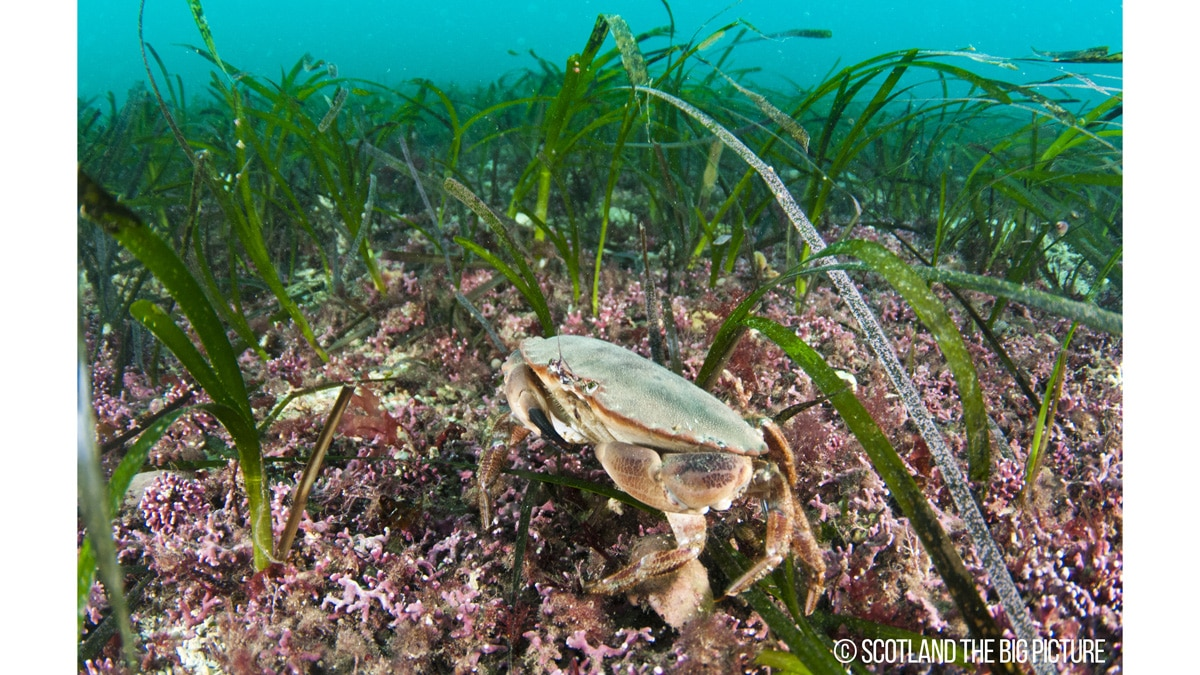 Maerl and Sea grass (Zostera marina) beds, Orkney Isles.