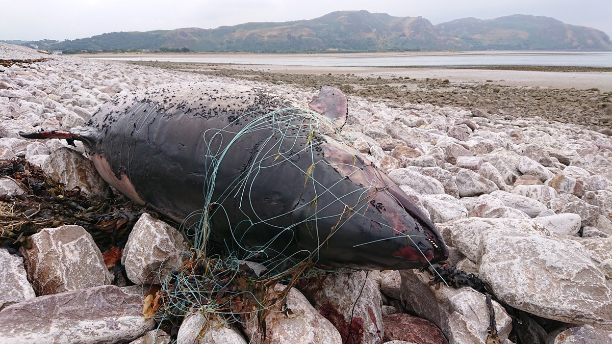 Porpoise, Conwy Wales credit WDC