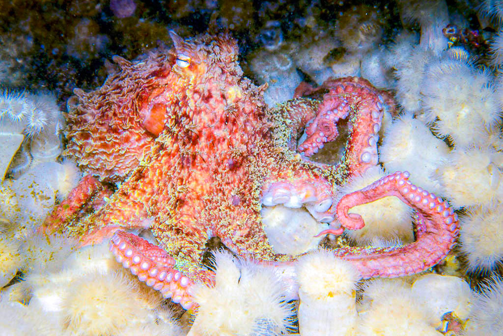Giant Pacific Octopus in BC – Jett Britnell