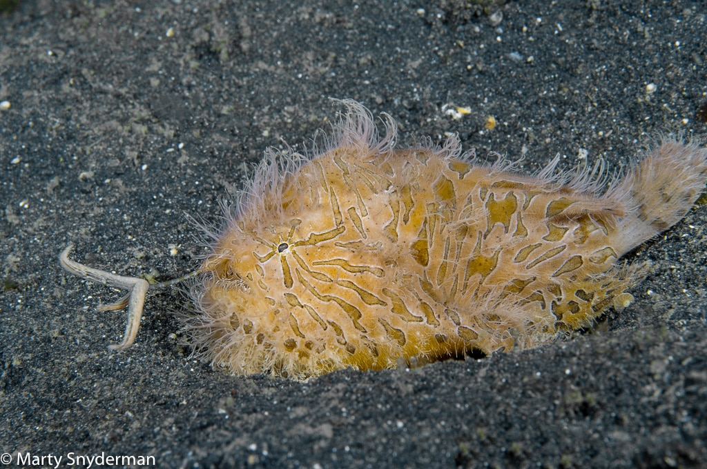 Hairy-frogfish-in-muck