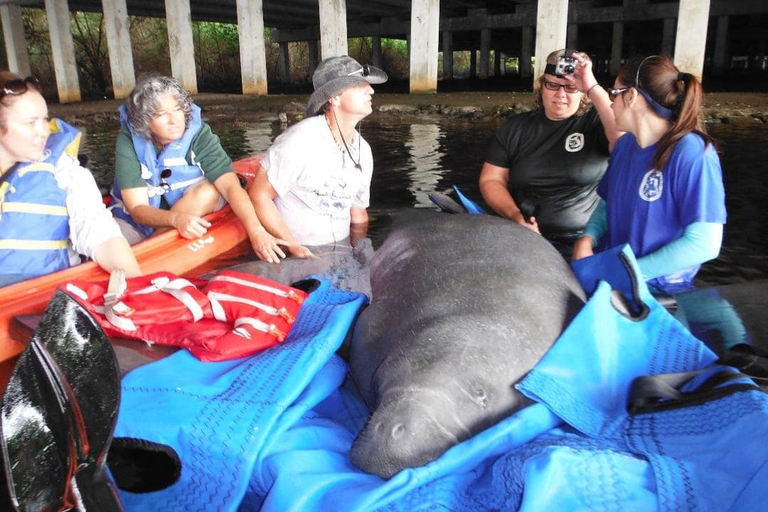 manatee being rescued for red tide exposure in 2013 and suffering from red tide exposure. These photos would need to be credited to Tim Martell 2
