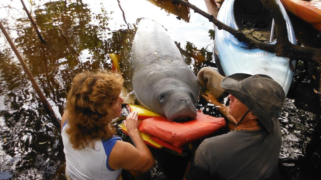 manatee being rescued for red tide exposure in 2013 and suffering from red tide exposure. These photos would need to be credited to Tim Martell