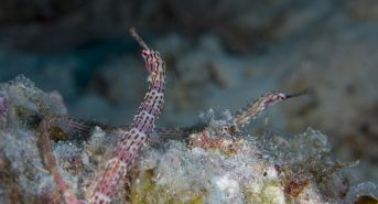5-Banded-pipefish.jpg