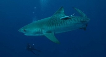 785_tigershark_scubaaddicts_1304284628.jpg