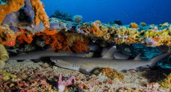 Bangka-Whitetip-Sharks-800x433-by-Markus-Roth.jpg