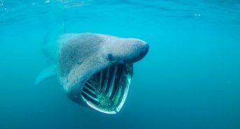Basking-Shark-Scotland-1mb-Shane-Wasik.jpg
