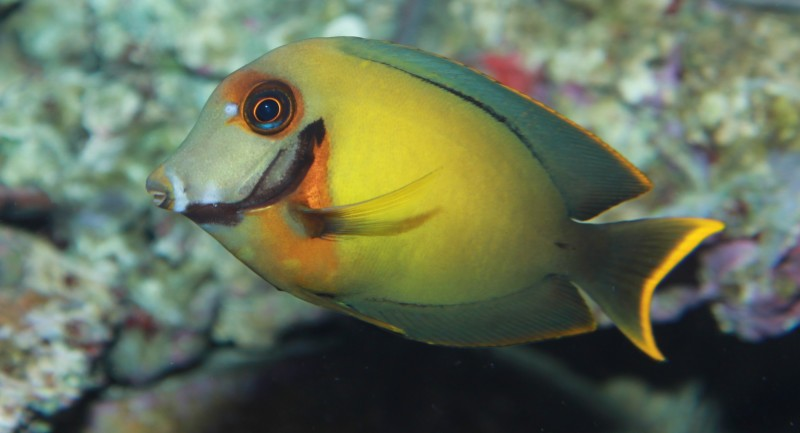 Chocolate-Surgeonfish.jpg