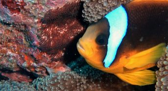 Clownfish-with-eggs-Red-Sea-7.jpg