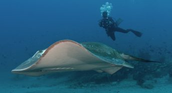 Diver-with-pregnant-smalleye-stingray-at-BANP-Mozambique-c-Andrea-Marshall-Marine-Megafauna-Foundation.jpg