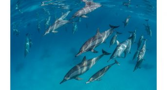 Dolphins_Sataya_High_Res.jpg