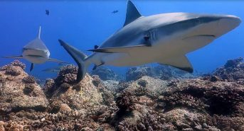 Dying-reefs-silver-grey-reef-shark.jpg