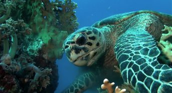 Hawksbill-Turtle-Red-Sea.jpg