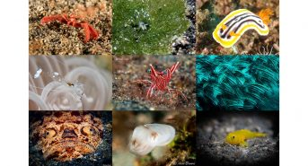 LR_CapturingCrittersInLembeh2018_collage.jpg