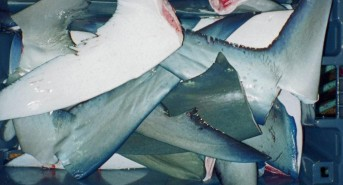 NZ-Shark-Finning.jpg