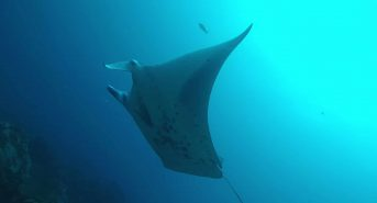 Pregnant-reef-manta-in-Cocos-Island-c-Mauricio-Hoyos-Fins-Attached_6-1.jpg