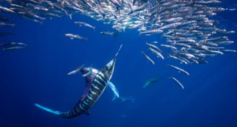 SV_striped-marlin_HDR.jpg