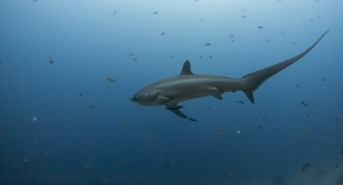 Thresher-Sharks.jpg