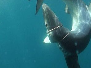 Thoughts on Shark Tagging… by Jeff Goodman