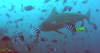 fiji-shark-dive-with-ash-roberts-1.jpg