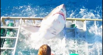 great-white-breaches-shark-cage.jpg