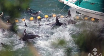 news-160304-1-3-bottlenose-pod-swims-frantically-as-violent-captive-selection-continues-932-large.jpg
